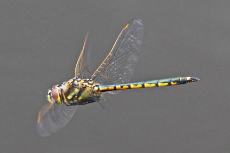 Scientists Tap Dragonfly Vision to Build a Better Bionic Eye | Biomimicry | Scoop.it