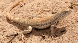 U.S. says lizard not endangered - NM Capitol Report | A view from the New Mexico state capitol | Dunes Sagebrush Lizard | Scoop.it