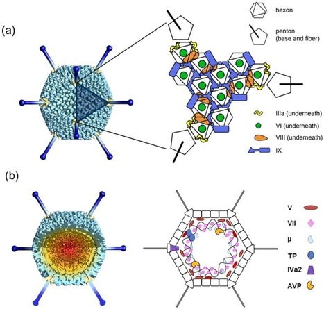 Latest Insights on Adenovirus Structure and Assembly | Virology and Bioinformatics from Virology.ca | Scoop.it