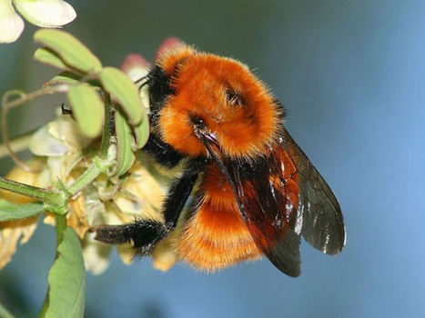 Bye bye big bee: In South America, the world's largest bumblebee is at risk from imported rivals | Sustain Our Earth | Scoop.it