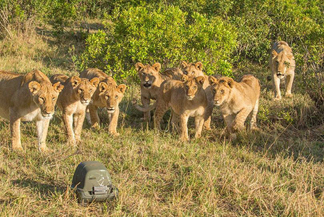 Photos and Video Captured with a Remote-Controlled Lion-Proof Camera Housing | xposing world of Photography & Design | Scoop.it