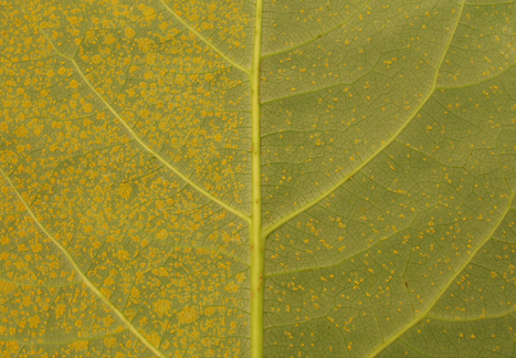 Frontiers: The poplar Rust-Induced Secreted Protein (RISP) inhibits the growth of the leaf rust pathogen Melampsora larici-populina and triggers cell culture alkalinisation (2016) | Publications | Scoop.it