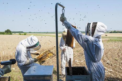 Pourquoi les abeilles disparaissent | EntomoNews | Scoop.it