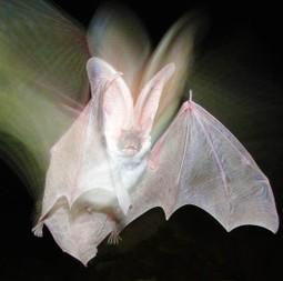 Scientists measure bat populations in post-wildfire habitats | GarryRogers Biosphere News | Scoop.it