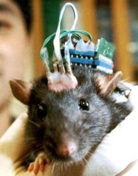 IA : un rat se fait greffer un cerveau artificiel, qui corrige sa déficience motrice | L'Intelligence Artificielle | Scoop.it