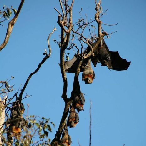 Bat immune response may hold key to combating human disease | NSW National Parks | Scoop.it