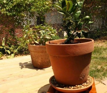 6 Surprising Fruits You Can Grow Organically Indoors in Containers! | Fruit for Health | Scoop.it