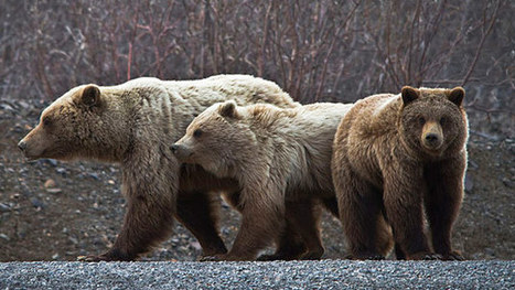 How climate change threatens grizzly bears | Climate change challenges | Scoop.it
