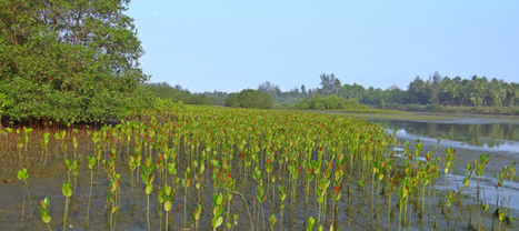 Mangrove restoration – The new marvel against coastal erosion? | Oceans & Coastal Margins in the news | Scoop.it