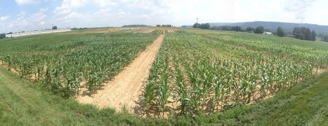 Study finds that maize roots have evolved to be more nitrogen efficient - Penn State (2015) | Ag Biotech News | Scoop.it