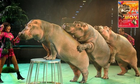 Disturbing picture of 'distressed' hippos in freezing E European show   Trophy Hunting   Scoop.it