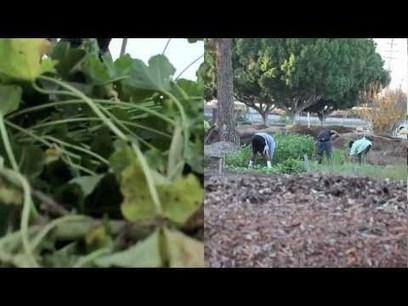 Kids who sling kale eat kale: Launch 5 School Garden CSA's in LA's Food Deserts | Community Support Agriculture | Scoop.it