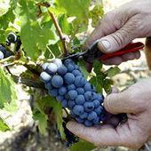 Entre 2010 et 2014, la surface du vignoble français « bio » aura triplé - Le Monde | Produits du midi | Scoop.it