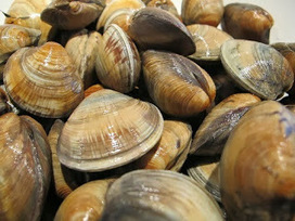 Clams are rich in Protein | Its All About Seafood | Scoop.it
