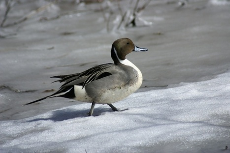 Photos de canards : Canard pilet - Anas acuta - Common pintail duck | Faaxaal Forum Photos gratuite Faune et Flore | Scoop.it