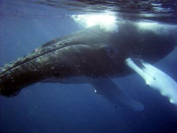 Greenland raises whaling quotas | Dolphins | Scoop.it