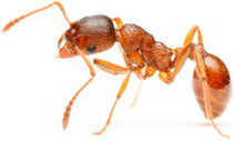 About Ants | Bugs & Pests Database | Hulett Pest Control | Agua | Scoop.it