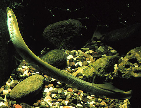 Lamprey purges 20 percent of its genome from most cells and keeps full genome only in germ cells | Amazing Science | Scoop.it