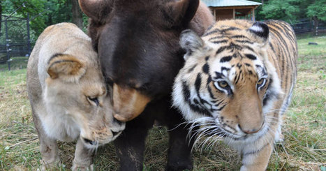 The Story of Leo, Baloo and Shere Khan: An Inseparable Bond Between a Bear, Lion and Tiger | Xposed | Scoop.it