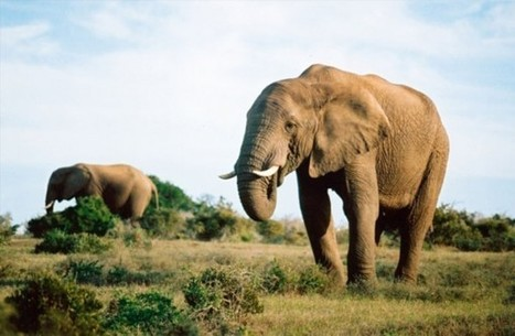 Poachers kill 19 elephants in Kruger Park | Wildlife Trafficking: Who Does it? Allows it? | Scoop.it