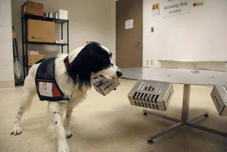 Training Dogs to Sniff Out Cancer | K9 Working Dogs | Scoop.it
