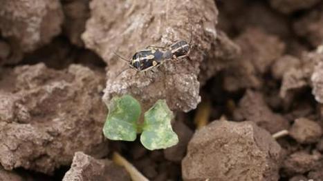 2010-2015: Impact of bagrada bug on desert cole crops   CALS in the News   Scoop.it