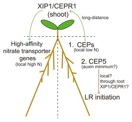 New role for a CEP peptide and its receptor: complex control of lateral roots   MycorWeb Plant-Microbe Interactions   Scoop.it