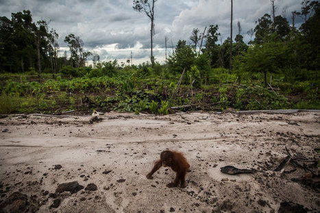 Indonesia's Orangutans Suffer as Fires Rage and Businesses Grow | Forestry Conservation | Scoop.it
