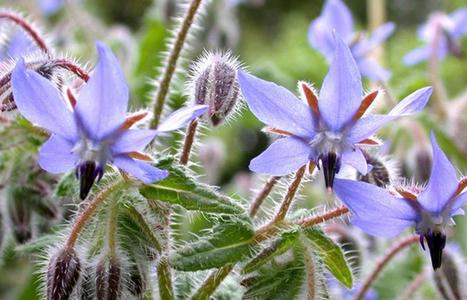 Fleurs comestibles : de la couleur dans votre assiette - EstriePlus.com   Horticulture   Scoop.it
