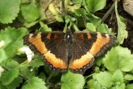 Photos de papillons : Petite vanesse - Aglais milberti - Nymphalis milberti - Milbert's Tortoiseshell   Fauna Free Pics - Public Domain - Photos gratuites d'animaux   Scoop.it