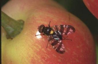 Mouches des fruits : Deux zones de quarantaine décrétées à l'Île Maurice | EntomoNews | Scoop.it