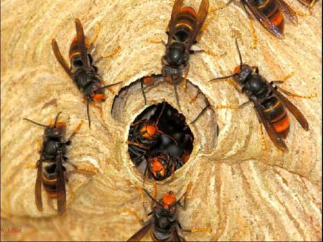 39 frelon asiatique 39 in abeilles intoxications et informations. Black Bedroom Furniture Sets. Home Design Ideas