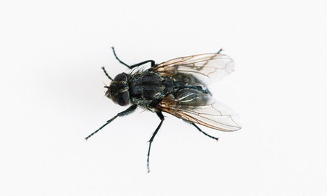 Time passes more slowly for flies, study finds | Social Foraging | Scoop.it
