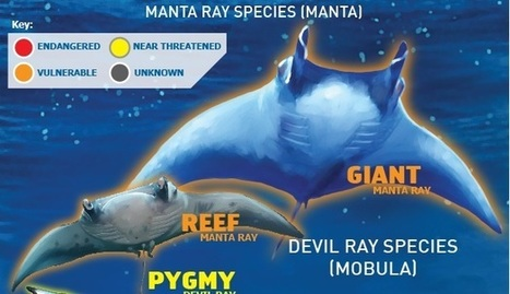 Infographic: Manta and Devil Rays at risk | Rays' world - Le monde des raies | Scoop.it
