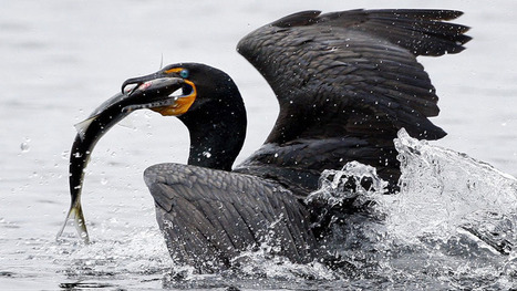 INSANITY UPON INSANITY: Fishermen want cormorant cull | OUR OCEANS NEED US | Scoop.it