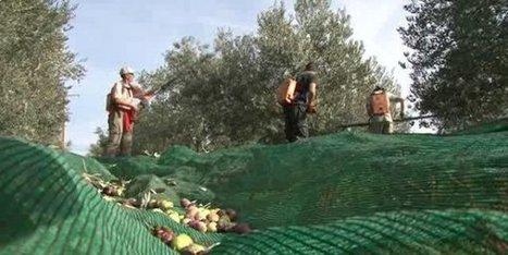Valensole : l'huile d'olives 2016 s'annonce comme un grand cru - France 3 Provence-Alpes | oléiculture | Scoop.it