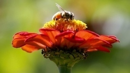 First case of Zombie fly parasite confirmed in B.C. honey bees | Food for Pets | Scoop.it