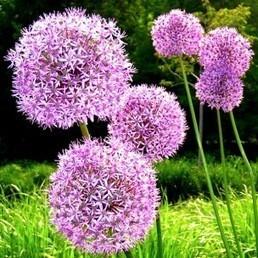 Allium giganteum 'Globemaster' (Ail d'ornement) Bulbes - Alsagarden, Graines & Plantes Rares | Plantes Rares et Insolites | Scoop.it