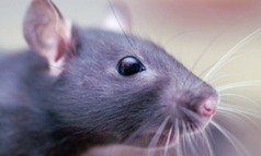 33rd Square: Researcher Rewires Rat Brains To Sense Infrared Spectrum and Promises Much More | Science, Technology, and Current Futurism | Scoop.it
