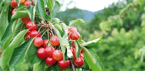 Diméthoate : Modification de la liste rouge des cerises d'importation | Arboriculture: quoi de neuf? | Scoop.it