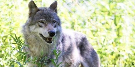 Le gentil petit loup et le grand méchant berger... | Nature & Civilization | Scoop.it