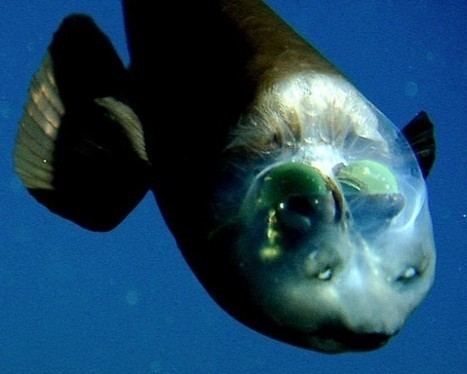 The Pacific Barreleye Fish and Its Weird See-Through Head | Strange days indeed... | Scoop.it