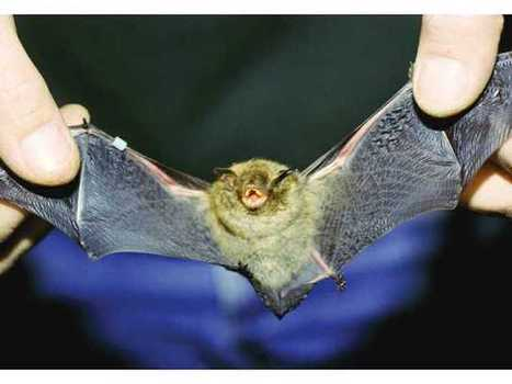 New Forest Service plan considers endangered Indiana bat - Gainesville Times | Bat Biology and Ecology | Scoop.it