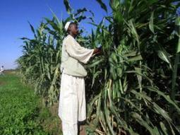 Climate threat to SA's maize farmers | EnviroJMS | Scoop.it