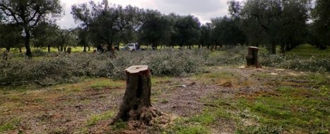 Diffusion of Xylella in Italian olive trees: Italian newspaper leaks details of Lecce prosecutor's report | Cropbiosecurity and Agroterrorism Watch | Scoop.it