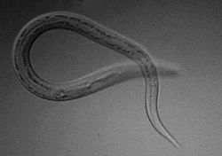 Parásitos y enfermedades parásitarias | Necator Americanus | Scoop.it