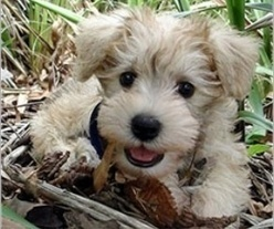 Schnoodle. Took a dog breed selector quiz and this little guy was my result :) medium to large dog, no shedding, running companion, good breed for first time dog owners. | Dogs Breed | Scoop.it