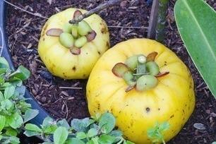 Garcinia Cambogia: Supplement Often Lacks Active Ingredient, Study Finds | Erba Volant - Applied Plant Science | Scoop.it