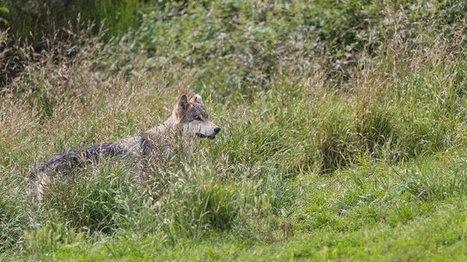 Des loups pourraient avoir attaqué des brebis dans l'Aveyron - France 3 Midi-Pyrénées | Gardarem les paysans | Scoop.it