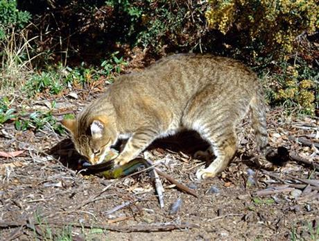 Study: Cats, foxes behind Australia's alarming extinctions | Upsetment | Scoop.it